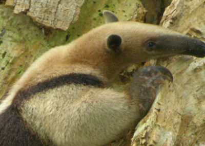northern-anteater