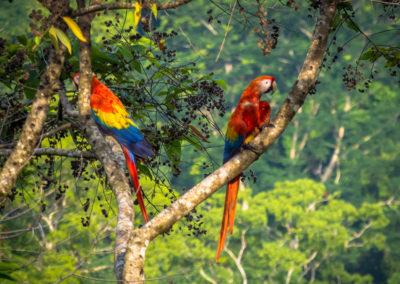 parots-costarica-lunalodge