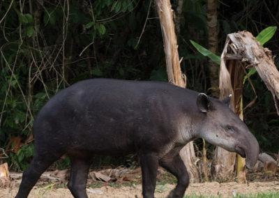 tapir-luna-lodge